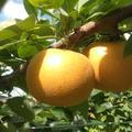 旬の和梨5kg | 約5kg(11~16玉)