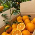 マルユー園の清見オレンジ小玉家庭用5.5キロ | 5.5kg