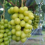 マルダイ大場農園のぶどう 種なし巨峰3房入り(約1.6kg) 約1.6kg 果物/ぶどう通販