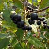 【スーパーフード】セミドライアロニア(アントシアニン豊富)新潟県産 アロニア 33g×4個 果物/その他果物通販