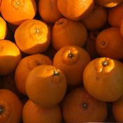 [早出しフレッシュ:12月] デコポンの本場熊本 天草の不知火(ご家庭向け) 5kg 果物や野菜などのお取り寄せ宅配食材通販産地直送アウル