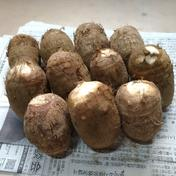 里いも 大和早生(やまとわせ) A等級 2L3L混合 1kg 果物や野菜などのお取り寄せ宅配食材通販産地直送アウル