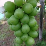 まほろばの里・たかはたのシャインマスカット 2キロ程度 果物(ぶどう) 通販