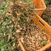 無農薬生落花生(おおまさり)5kg 5kg 野菜(豆類) 通販