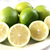 柑橘のトップバッター! 瀬戸田グリーンレモン 5kg 5kg 広島県 通販