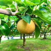 梨 豊水 良品 3kgオーバー!(7個〜9個) 3kgオーバー!(7個〜9個) 果物(梨) 通販