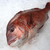 【鮮魚】養殖真鯛ラウンド約2kg~2.5kg/1尾 1尾/約2kg~2.5kg 鹿児島県 通販