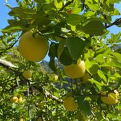 シナノゴールド 自宅用 6-10個 6-10個(2-3kg) 果物や野菜などのお取り寄せ宅配食材通販産地直送アウル
