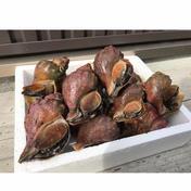 北海道噴火湾湾産青つぶ4kg 4kg 魚介類 通販