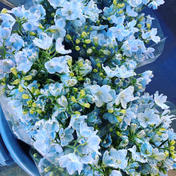 1度で4回楽しめるお花♪仏花にも使える◎デルフィニウム 薄水色 60cm 15本 15本 その他 通販