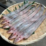 [明石名物]天然穴子(小) 小サイズの穴子(開く前は100g前後)を6匹 魚介類(穴子(生)) 通販