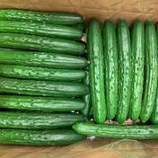なおちゃんファームのきゅうり 5Kg 野菜(きゅうり) 通販