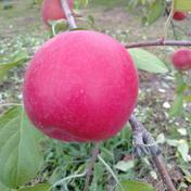 やましげりんご ひろさきふじ+トキ 詰め合わせ 約10kg【家庭用】 約10kg