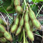【訳あり】毛豆(未選別品)約3㌔ 約3キロ 野菜(豆類) 通販