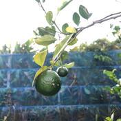 [試し売り期間限定]長寿乃里大宜味村産の青切りシークヮーサー 2kg 果物 通販