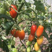 あま〜いアイコ 1kg 野菜(トマト) 通販