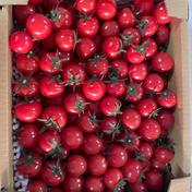 【大人気】薄皮ミニトマト【1.6キロ】 1.6kg 野菜(トマト) 通販