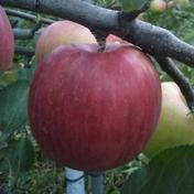 シナノスイート 5kg【家庭用】 約5kg(12〜20個) 果物 通販