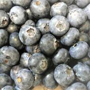 北海道十勝産冷凍ブルーベリー【大粒】(500g) 大粒500g 果物(その他果物) 通販