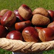 広大な自然で育った人吉球磨産の無農薬栗 1.5㎏ 果物 通販