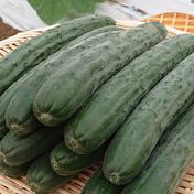 佐之衛門のピカピカ胡瓜 1.5㎏ (9~14本) 果物や野菜などのお取り寄せ宅配食材通販産地直送アウル