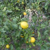 2021年新物【高知県産】希少無農薬国産レモンノーワックス1キロ 1キロ(6~8個) 果物(レモン) 通販