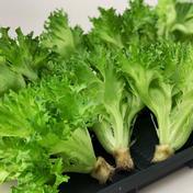 【一番人気☆】お試し!京都伏見産シャキシャキ水耕レタス 500〜600g 野菜(レタス) 通販