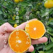 初秋の宝石 紀のゆらら5キロ 秀品 希少品種 送料無料 5キロ 果物 通販
