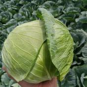 もり農園の高原キャベツ3玉セット 3玉 果物や野菜などのお取り寄せ宅配食材通販産地直送アウル