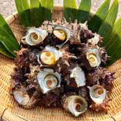 【磯の香り】隠岐の島産 新鮮活さざえ(3kg) 3kg(30個前後) 魚介類(サザエ) 通販