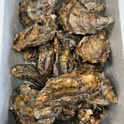 【相生夏蠣】夏に食べる牡蠣!生でも美味しい!!20個 相生夏蠣20個セット 魚介類(牡蠣) 通販