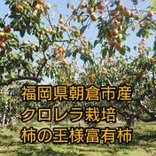 柿の王様 クロレラ栽培 富有柿 15~18玉入り 15~16玉 果物(柿) 通販