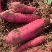 【B級品】無農薬サツマイモ(紅あずま)5kg 5kg 千葉県 通販