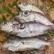 お目々がクリっと、駿河湾産デンデン 1kg/1パック(10-13尾) 果物や野菜などのお取り寄せ宅配食材通販産地直送アウル