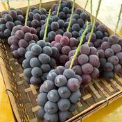 【送料無料!】山梨県産 巨峰 1kg 2〜3房 1kg 果物(ぶどう) 通販