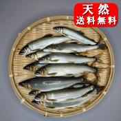 友釣り天然鮎 加茂川 愛媛県西条市 12匹(17~20cm)  愛媛県 通販