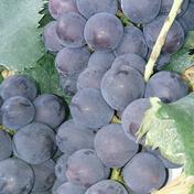 朝摘み巨峰4kg 4kg 果物(ぶどう) 通販