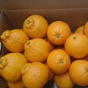 人気の『しらぬひ』と『ネーブルオレンジ』のワクワク柑橘セット 5kg 5kg 広島県 通販