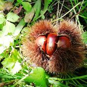 ♪秋の味覚を楽しもう♪ぶどう園の栗(銀寄) Mサイズ/約1.8kg 約1.8kg 果物(栗) 通販