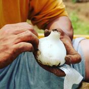 いのちの熟成黒にんにく(150g) 150g 野菜(野菜の加工品) 通販