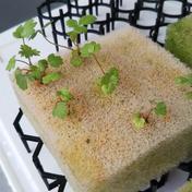 四季なりイチゴのの幼葉(1-3cm位)をスポンジ付で スポンジ3X4の12をプラBoxに 奈良県 通販