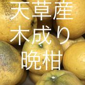 晩柑 家庭用 4.5kg  箱込4.5kg  果物(柑橘類) 通販
