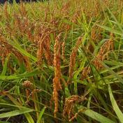 かんだファーム 「新米」令和3年産 越後門出の従来種コシヒカリ(希少米) 玄米30㎏ 精米無料 30㎏