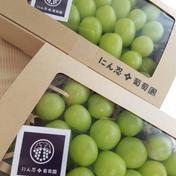白丸BOX 二箱約1200g以上 葡萄 ぶどう 粒ぶどう ご褒美 贈答用 贈り物 ギフト にん忍葡萄園 二箱 約1200g (一箱 600g) 果物(ぶどう) 通販