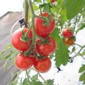 トマ糖*フルティカ*平均糖度9度以上のあまーいフルーツとまと1kg 1㎏ 野菜(トマト) 通販