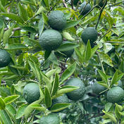 自然栽培すだち 1kg 果物(柑橘類) 通販