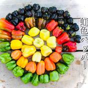 1【数量限定】虹色ペッパー美味しさ10倍✨!甘い!旨ピーマン!自然栽培 農薬不使用 固定種 1.5kg以上! 1.5Kgほど 広島県 通販