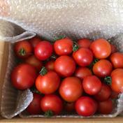ミニフルーツトマト880 1.8kg 野菜(トマト) 通販