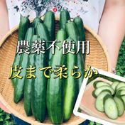 カリッ『やみつききゅうり』2キロ以上いっぱい!【夏限定販売】あんしん農薬不使用野菜!自然栽培!無肥料!自然農法⚠️北海道・東北・沖縄のお客様は送料が変わりますので、購入前にご連絡下さい。 2.5kg以上 広島県 通販