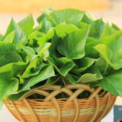 無農薬サツマイモつる葉っぱ1kg+(60サイズいっぱい) 1kg+(60サイズいっぱい) 大阪府 通販